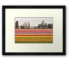 Tulip Town in the Skagit Valley Framed Print