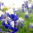 Texas Bluebonnet by Scott Chambless