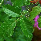 Poison Oak-Mariposa, Ca by Alan Brazzel