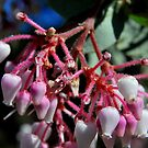 Manzanita Flowers-Mariposa, Ca by Alan Brazzel