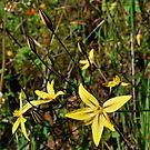 Yellow Star Flower2-Merced River, Mariposa, Ca by Alan Brazzel