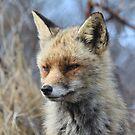 Fox_4746 by DutchLumix