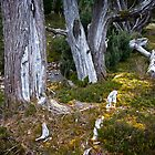Broken Trees - Cradle Mountain Tasmania by Hans Kawitzki