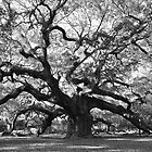 angel oak tree by cetrone