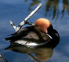 Sleeping Duck by WTBird