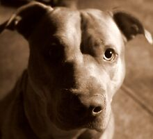 Jet The Pit Bull by Paris Nicole