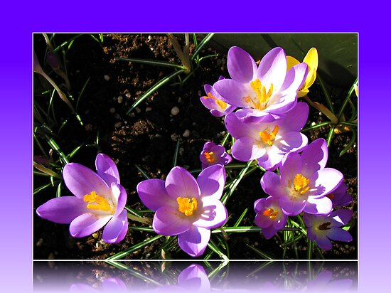 Dancing Crocuses in Reflection Frame by BlueMoonRose
