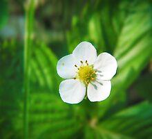 Strawberry blossom by kuma-x