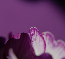 Varieties of Lilac by TriciaDanby