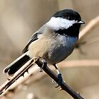 Chickadee Sunbath by Wolf Read
