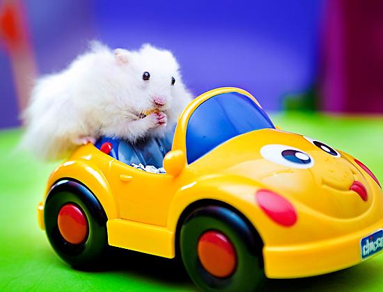 driving hamster by Carol Yepes