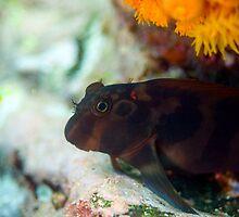 Galapagos Goby by Rowena  Mynott
