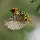 Speke&#x27;s Weaver 1 by David Clarke