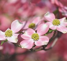 Pink Dogwood - Cornus florida by Matsumoto