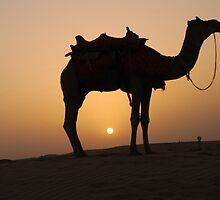 Camel at sunset in Thar desert by Appy