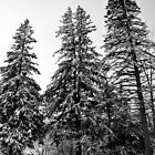 trees by fotosky
