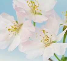 Prunus Mikinori by Catherine Wood