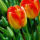 Orange Tulips by Jennifer Hulbert-Hortman