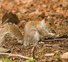 Grey squirrel juvenile about to sing you a song? by Jon Lees