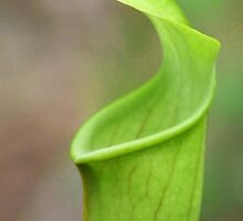 Pitcher Plant close up by CLStevens