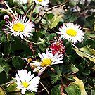 Wild Daisies by Daisy-May