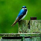 Swallow by PixelPerfectPho