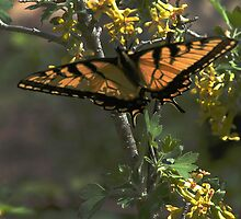 Swallowtail with a tinge of Orange by Dennis Rubin IPA