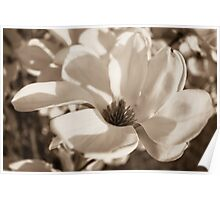 Black and White Tulip Tree Blossom Poster