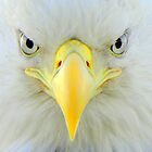 Intensity ~ Bald Eagle by lanebrain photography