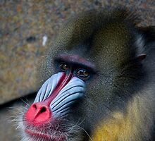 Mandrill by David  Hibberd
