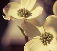 Dogwood Blossoms by Ashlee Lauren