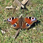 Peacock Butterfly on Grass by Chris Monks