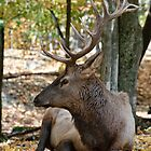 Elk -male by Tracey  Dryka