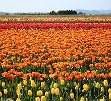 A field of Tulips by skreklow