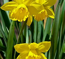 Pair of Yellow Daffodils by Brandon Edwards