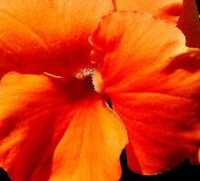 Orange Pansy by Tricia Stucenski