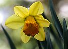 First Spring Daffodil - Bridgton,  Maine by T.J. Martin