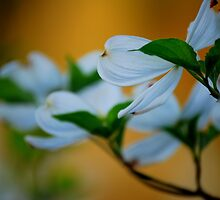 Dogwood  by Sunshinesmile83