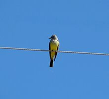 """Hanging out"" Kingbird by Sherry Pundt"