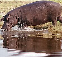 Charging Hippo by Michael  Moss