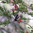 New Holland Honeyeater South West WA by Debbie  Widmer