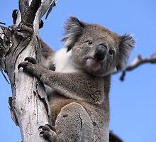 Koala by Debbie  Widmer