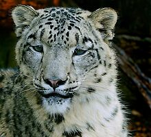 Snow Leopard by buttonpresser
