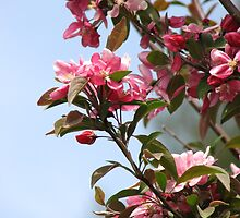 CrabApple-Flowering by JeffeeArt4u