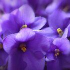 Violets by Danuta Antas
