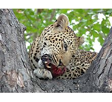 Dinner time - Leopard eating her kill up a tree Photographic Print