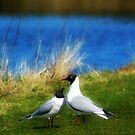 Black Headed Gulls by Moonlake