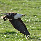 Fish Eagle flying by Angela1