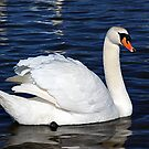Swan On Druridge Bay Lake by Moonlake