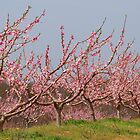 Pink Peach Orchard by reindeer